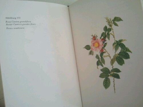Redouté Rose